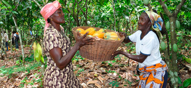 Chocolate and cocoa companies come together to act on climate change