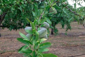 almond-fruit