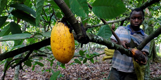 One and a half million children work on African cocoa plantations